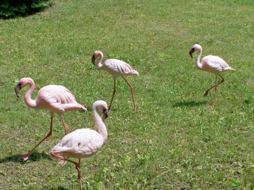 maszerujemy sobie tam i nazot... #ficiol007 #flamingi #ptaki